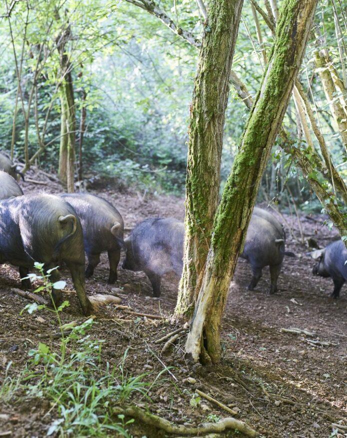 Porc noir de Bigorre AOP Herbae Forêt