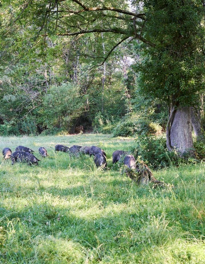 Domaine Herbae sous les chênes rayons de soleil porcs noirs de Bigorre AOP