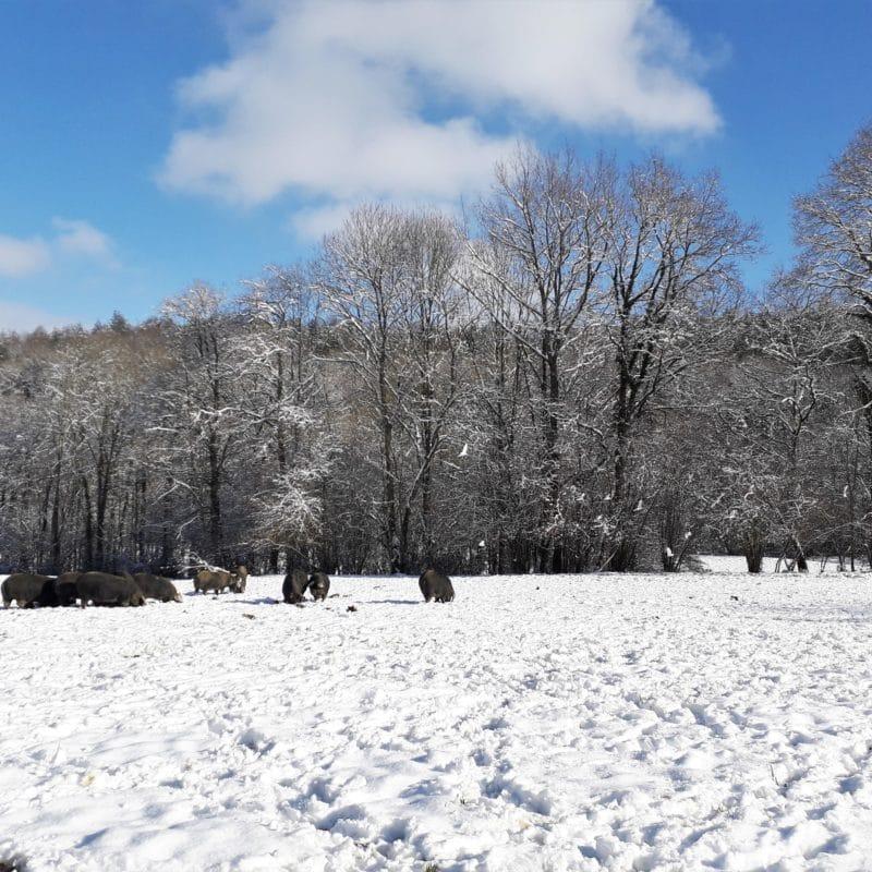 Porc noir de Bigorre dans la neige Herbae